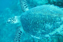 airlie8-more-turtle_5780636606_o